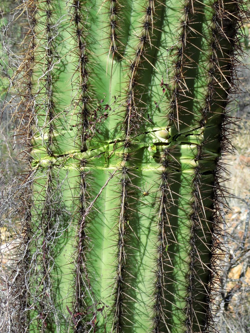 9 Saguaros Vandalized In Tucson National Park