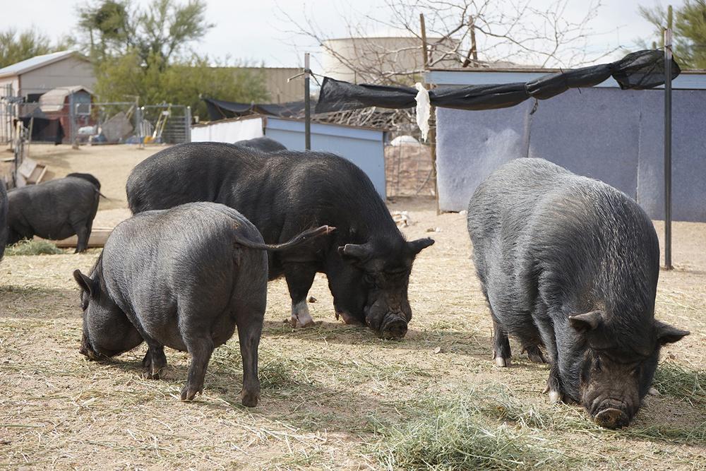 too big  u0026 39 mini u0026 39  pigs ending up at marana sanctuary