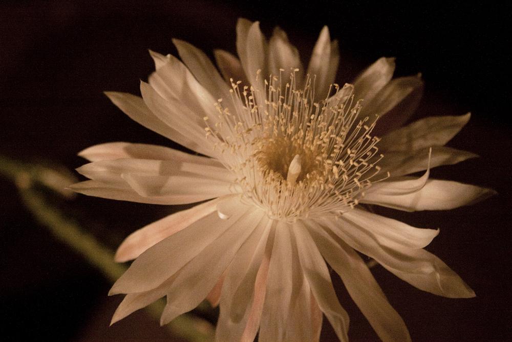 Cereus flowers glow on bloom night reina de la noche click image to enlarge mightylinksfo