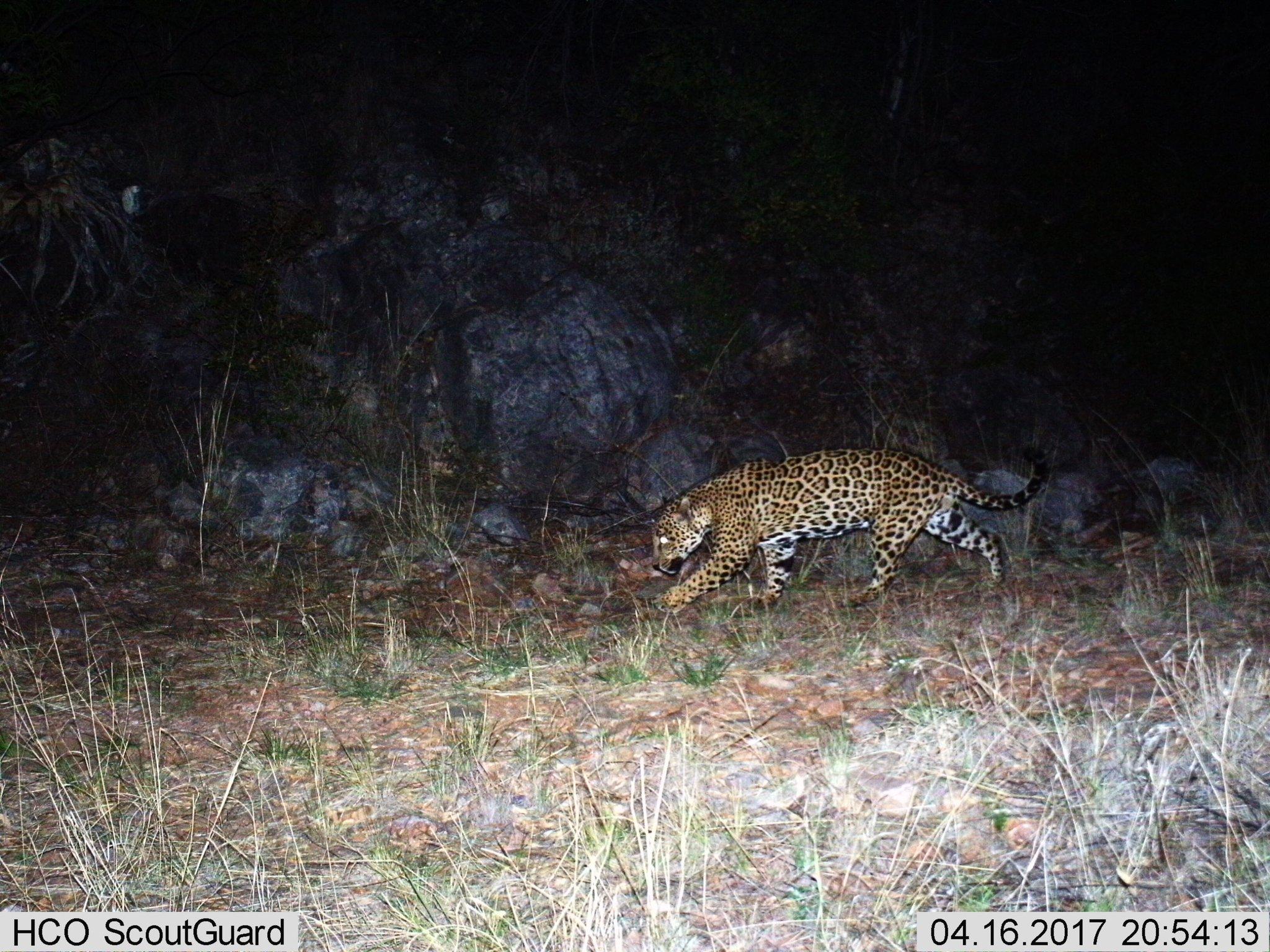 video: wild jaguar 'sombra' seen again in s. az mountains, confirmed