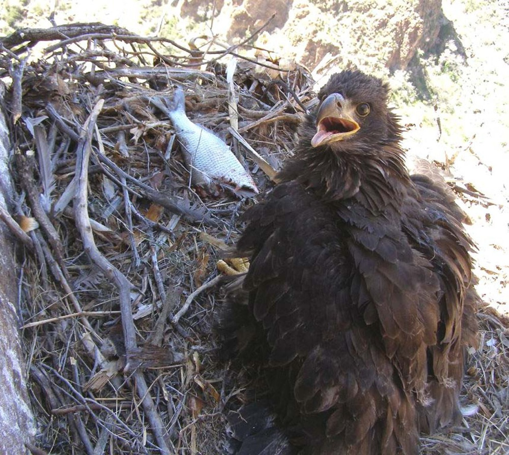 Groups renew push for endangered status for desert eagles