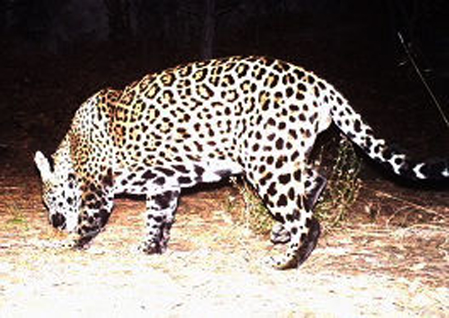 Jim Click Tucson >> Video: Wild jaguar 'Sombra' seen again in S. Az mountains ...