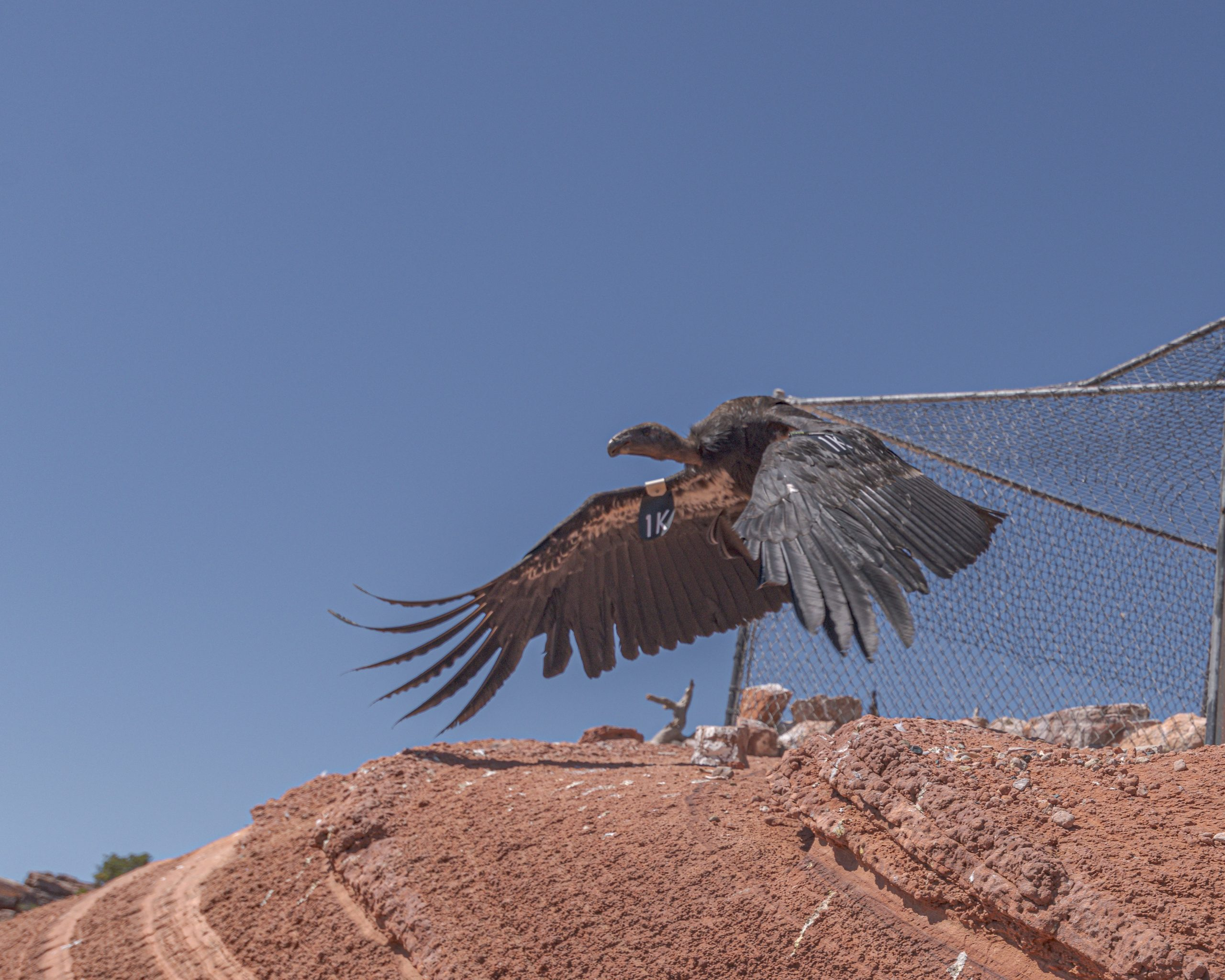 California Condor Release Watched Virtually Around The World