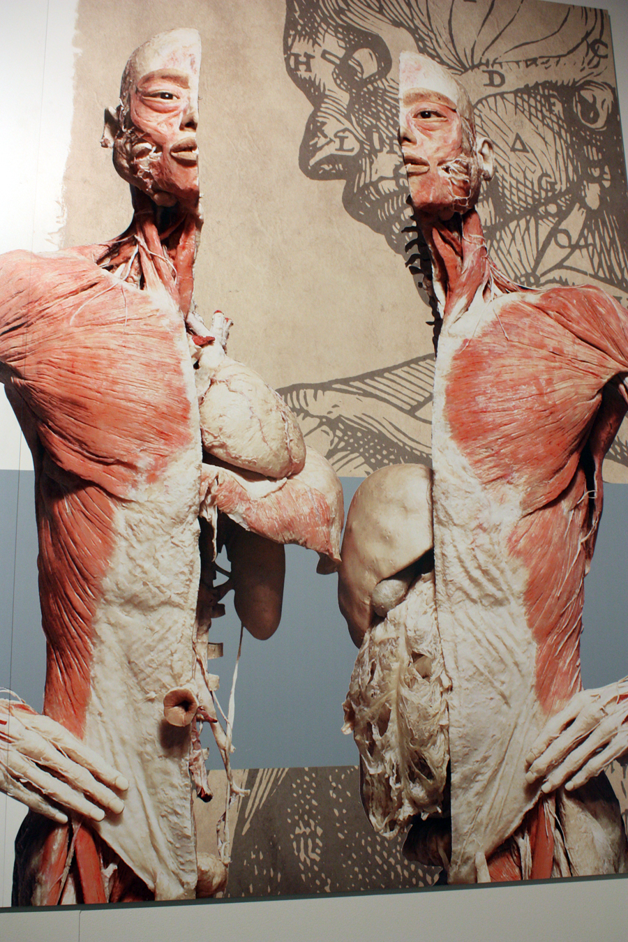 Exhibition Displays : Comments on get a peek under your skin at bodies exhibit